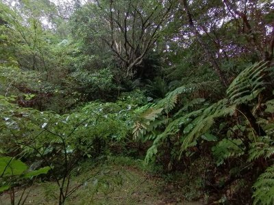 画像2: 沖縄コーヒー生豆 森林珈琲・中山園 100g
